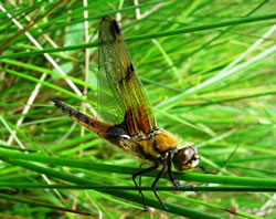 Dragonfly at Foxglove Covert Local Nature Reserve